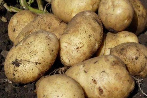 Сорт картофеля гулливер