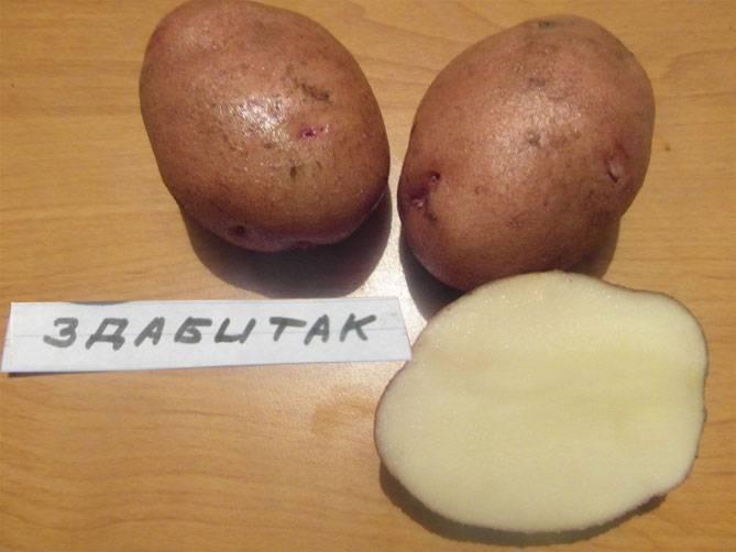 Картофель джура — описание сорта, фото, отзывы, посадка и уход