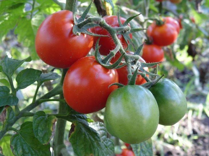 Чем удобрять помидоры при посадке: выбор удобрений и внесение подкормки в лунку. советы по посадке томатов (85 фото + видео)