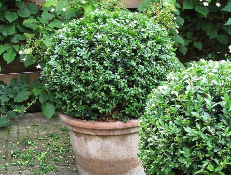Как ухаживать за вечнозеленым кустарником самшитом