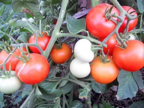 Томаты «яблонька россии»: как, не напрягаясь, снять сотню помидоров с куста