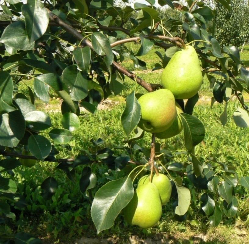Груша чудесница: описание, фото, отзывы садоводов, опылители