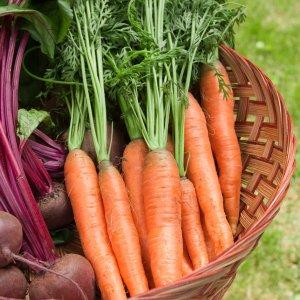 Зола и морковь: совместимы ли, любит ли овощ подкормку, можно ли посыпать сухим веществом или необходимо удобрять раствором, как это делать?