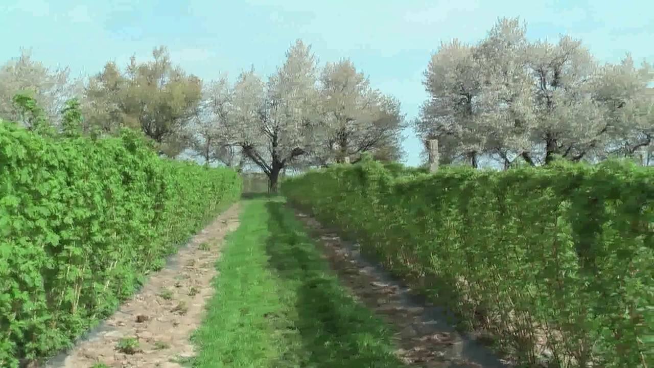 Малина сорта марсела: характеристика, особенности выращивания