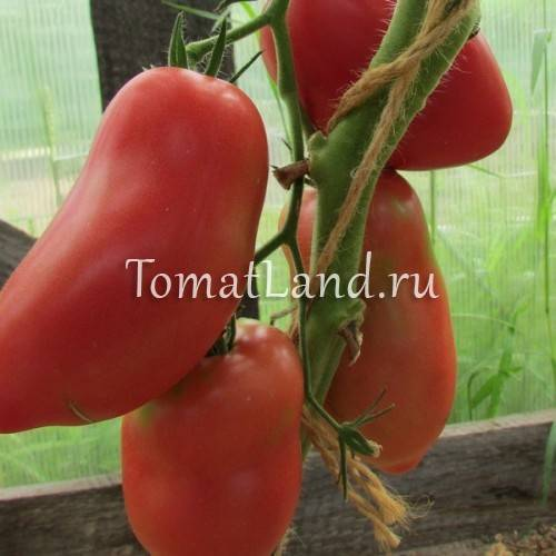 Томат грушовка: характеристика и описание сорта, фото, отзывы, урожайность