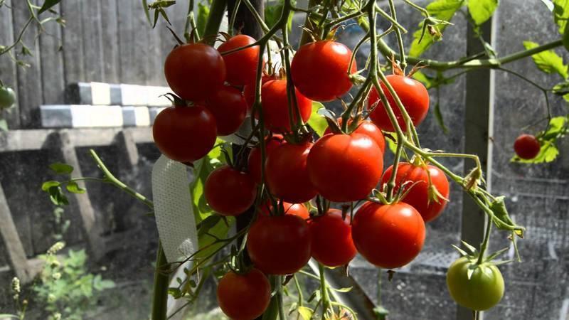 Помидоры красная шапочка: правила выращивания и отзывы огородников