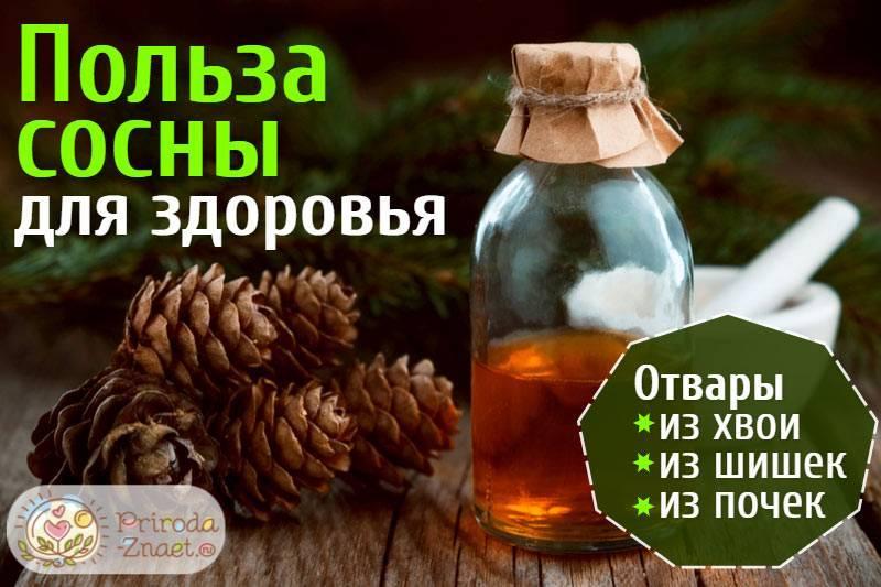 Лечебные свойства сосновой хвои: рецепты от разных недугов