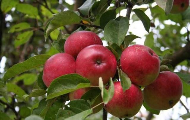 Яблоня подарок графскому: описание сорта, фото, отзывы садоводов
