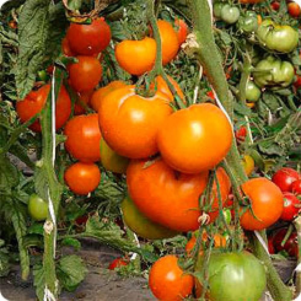 Почему фермеры так любят томат «оранжевый слон»