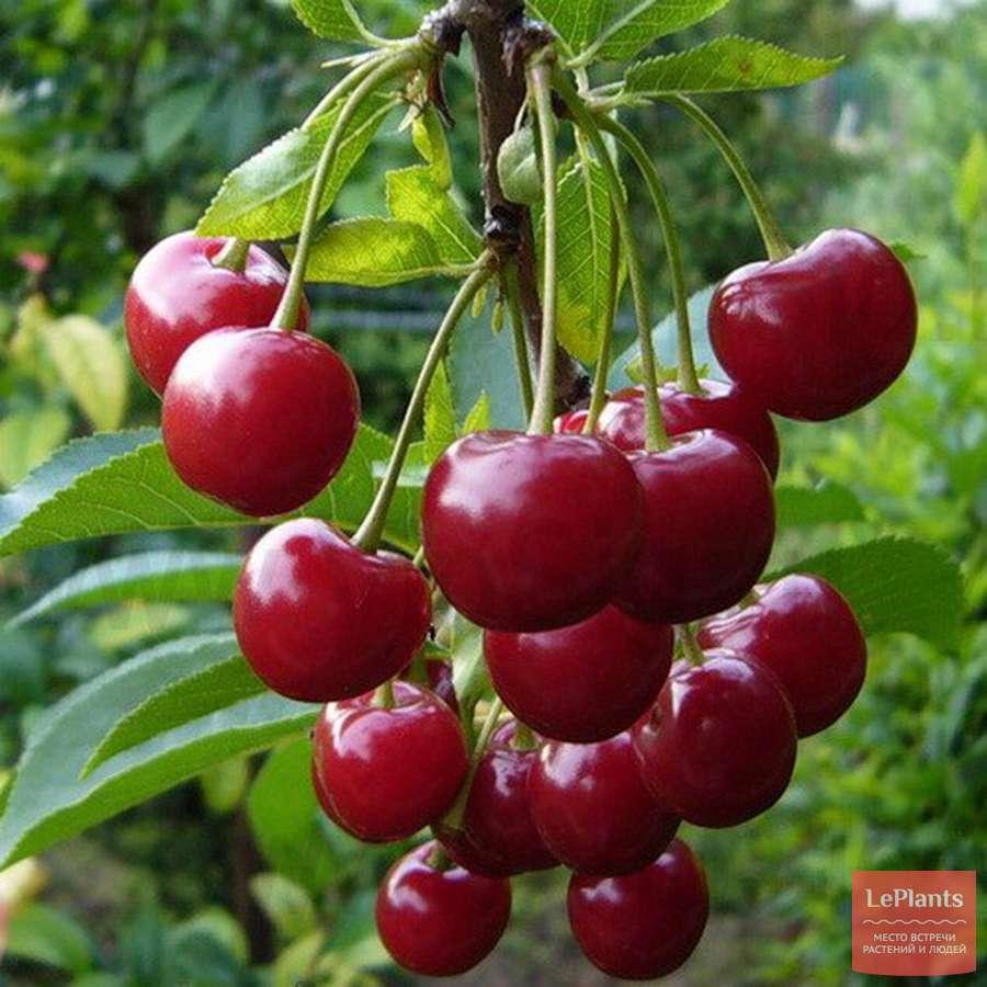 Популярный сорт: вишня харитоновская