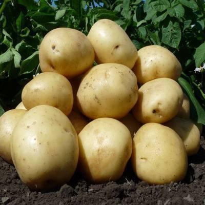 Особенности выращивания голландских сортов картофеля