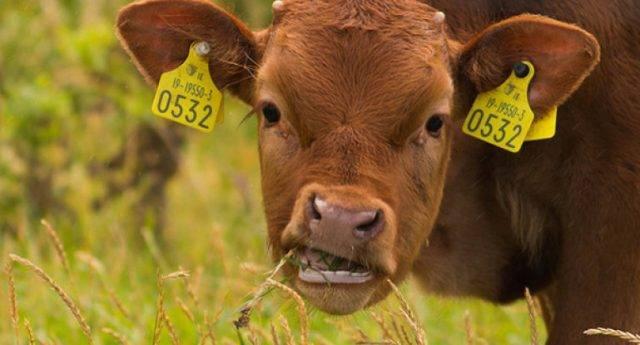 Выбор клички для коровы