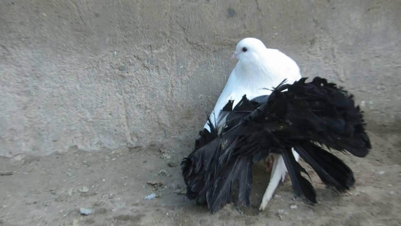 Голуби павлины (21 фото): описание павлиньей породы, белая и другие масти птиц, содержание и разведение