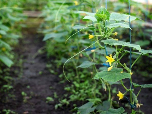 Лучшие сорта огурцов для выращивания на северо-западе страны