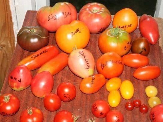 Выбираем жароустойчивые сорта помидоров для посадки на юге россии в 2020 году