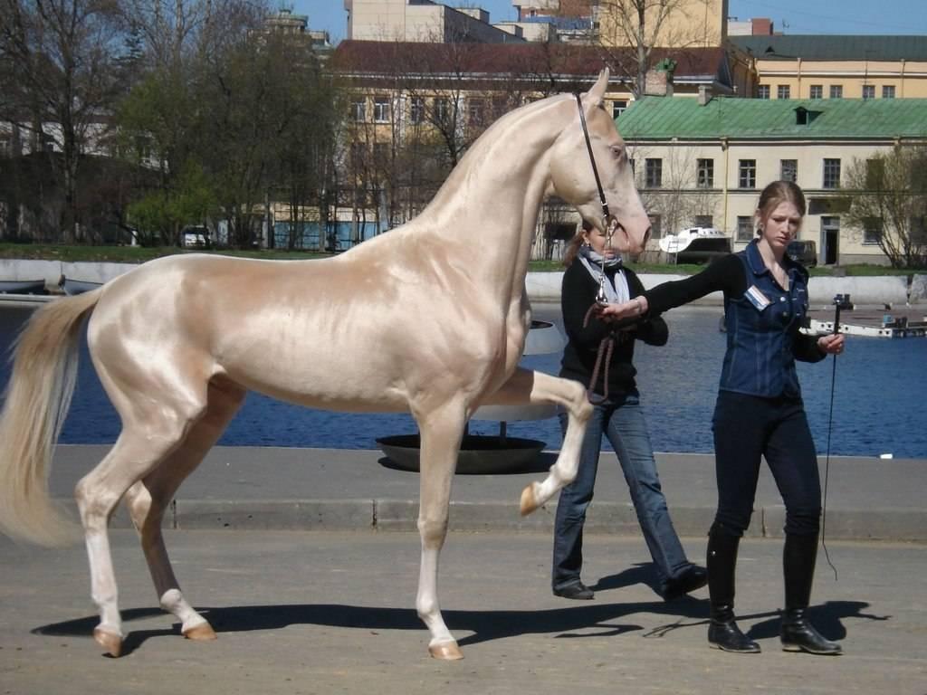 Происхождение ахалтекинской лошади