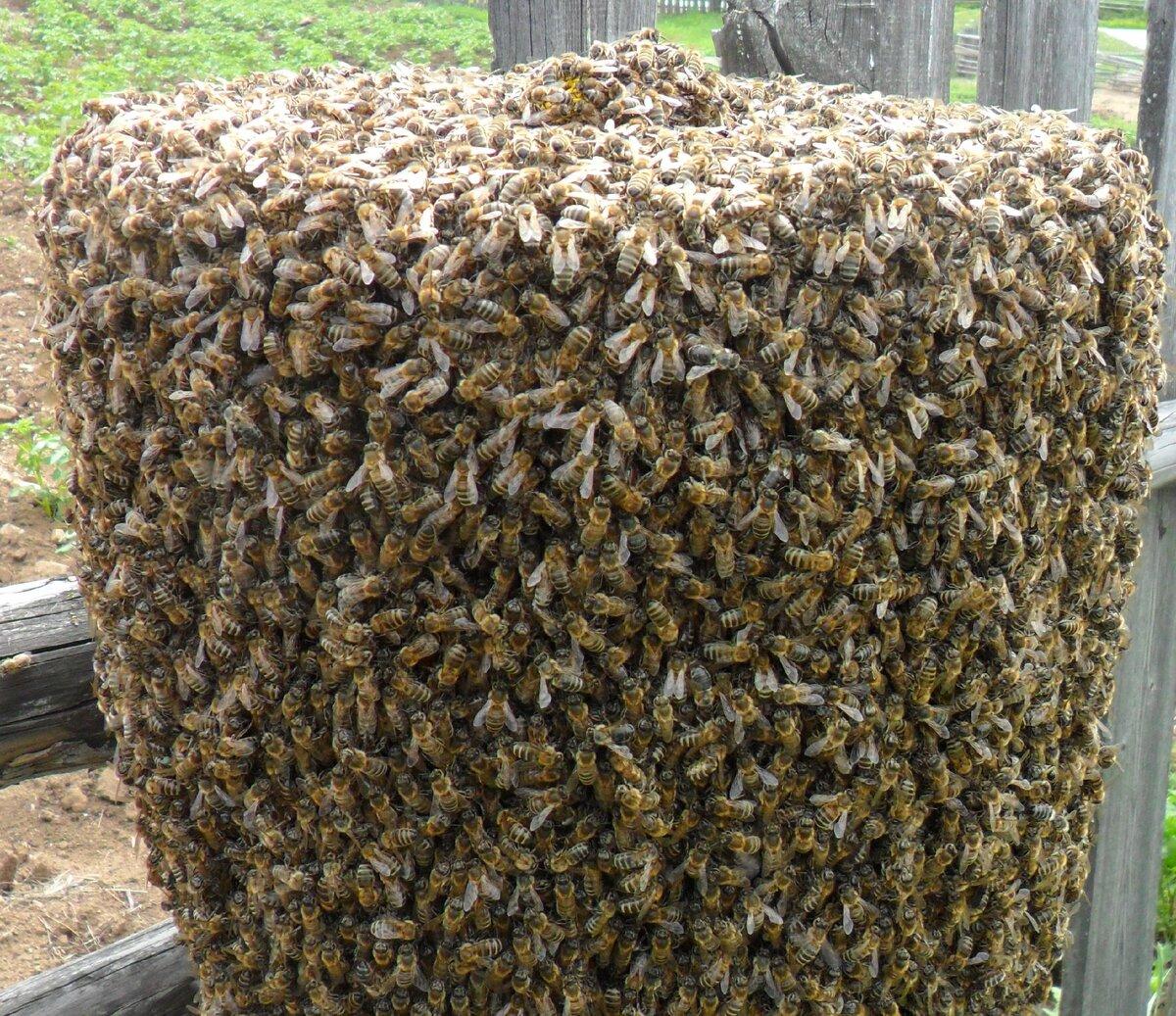 Что такое роение пчел и когда оно наступает