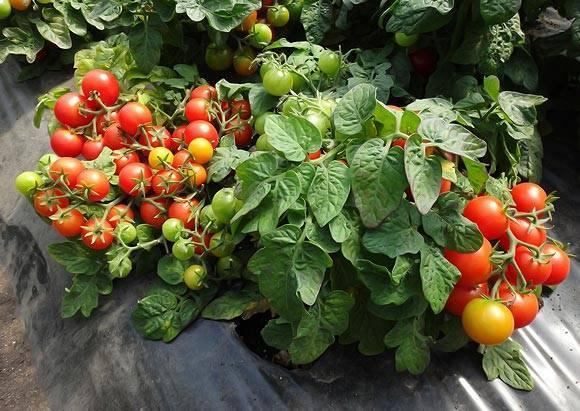 Высадка рассады помидор в открытый грунт в 2020 году