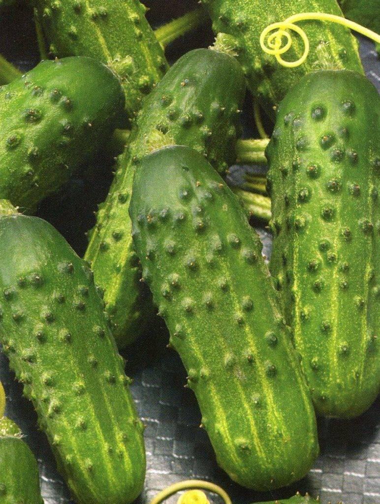 7 лучших сортов китайских огурцов для теплицы и открытого грунта
