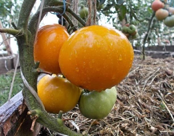 Гигант лимонный – витаминный томат для теплиц и открытых грядок. подробное описание, советы и отзывы