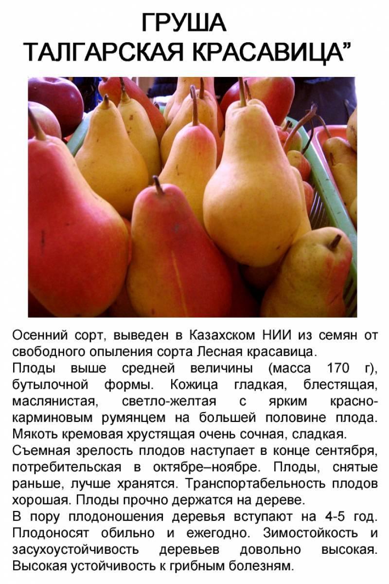 Груша Талгарская красавица: описание, фото, отзывы