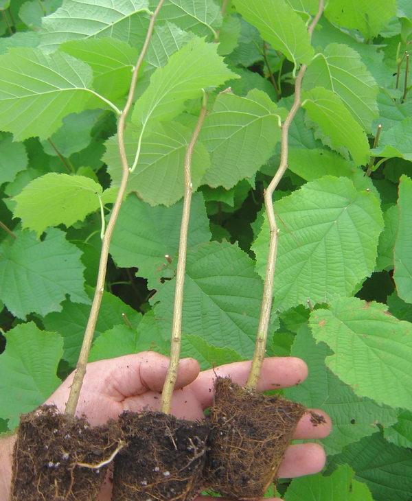 Как правильно посадить грецкий орех — бесценные советы для получения хороших результатов