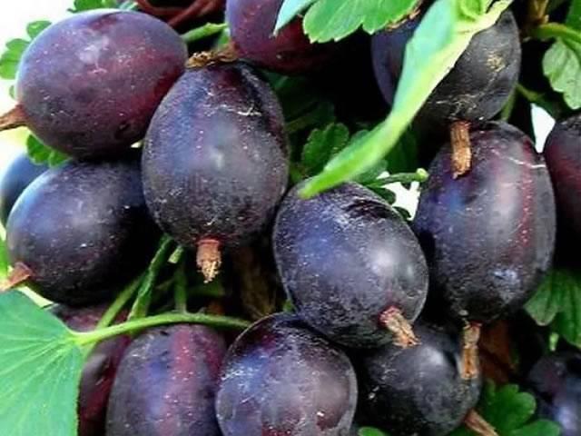 Крыжовник грушенька: характеристика, особенности выращивания и размножения