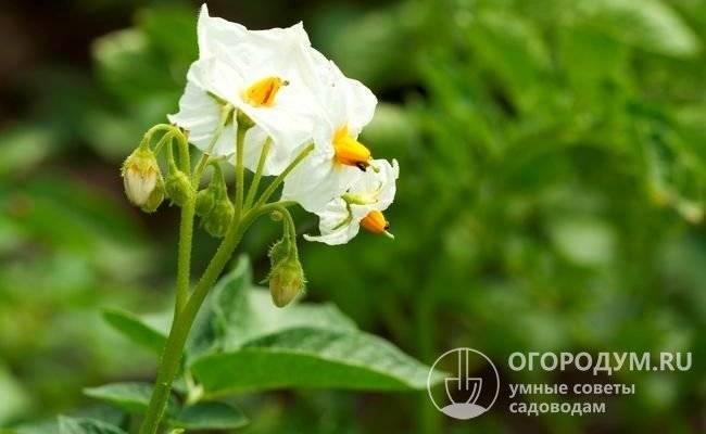 """Благородный сорт картофеля """"королева анна""""  родом из германии с подробным описанием сорта и отличительными характеристиками проиллюстрированными наглядными фото"""