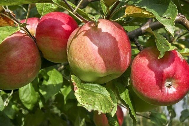 Карликовые яблони – выбираем лучший сорт