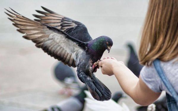 Сколько живут голуби?