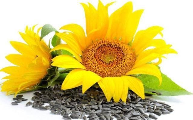 Жареные семечки: о пользе и вреде продукта