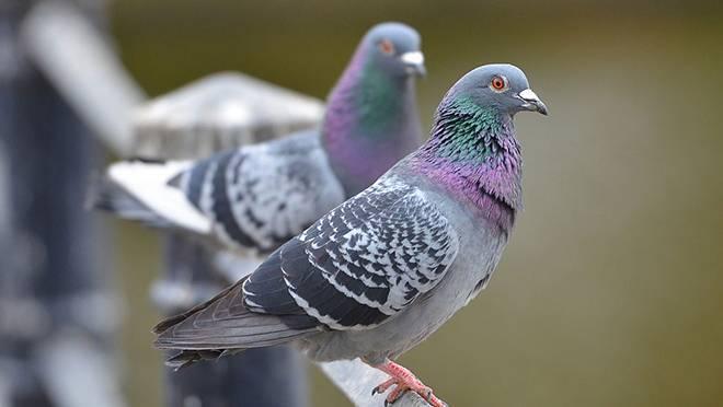 Какие продукты можно давать домашним голубям