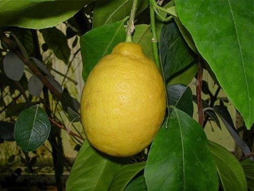 Лимон фрукт или ягода