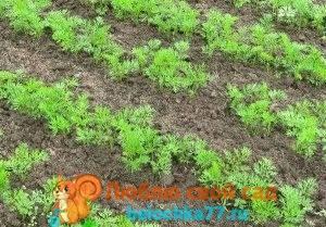 Как выращивать морковь в открытом грунте