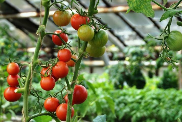 Лучшие сорта помидоров и описание их для теплиц из поликарбоната