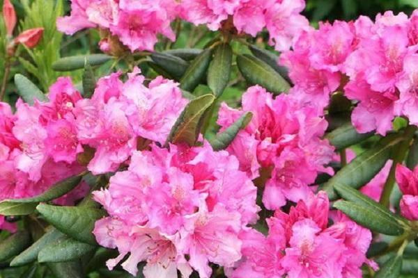 Рододендрон вечнозелёный — описание и выращивание