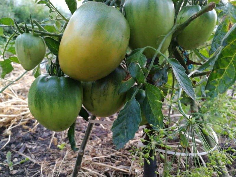 Томат «медовый спас»: сорт с длительным плодоношением