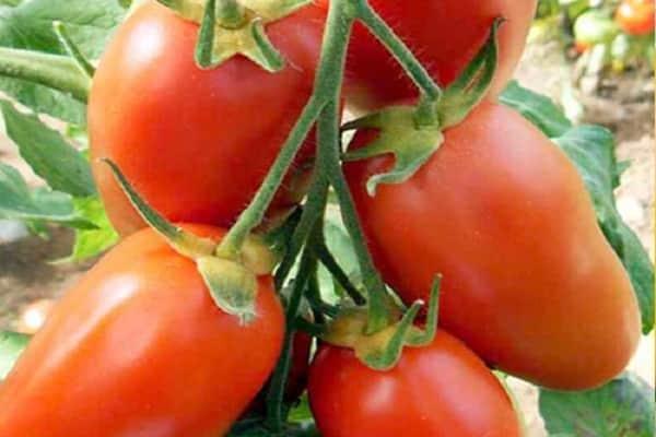 Описание сорта томата сибирский козырь и его характеристики