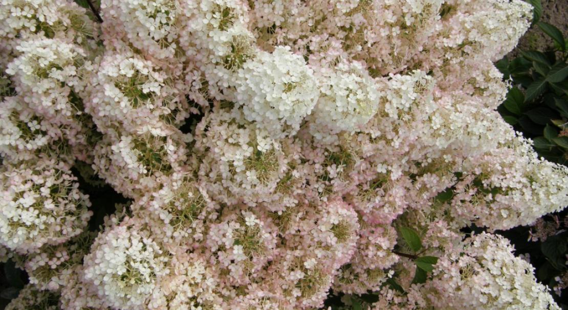 Посадка гортензии бобо и уход за ней: как ведет себя цветок в открытом грунте