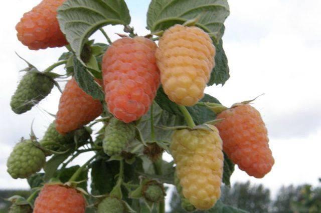 Ремонтантная малина оранжевое чудо — сорт, за которым будущее