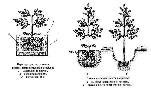 Формирование томатов в теплице и открытом грунте: инструкции и схемы