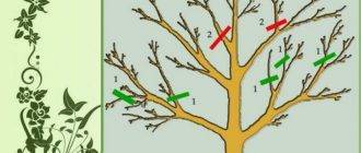 Обрезка плодовых деревьев осенью: яблони, груши, сливы и вишни