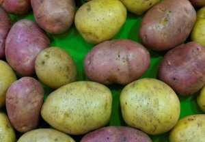 Сорт картофеля «алладин» – описание и фото