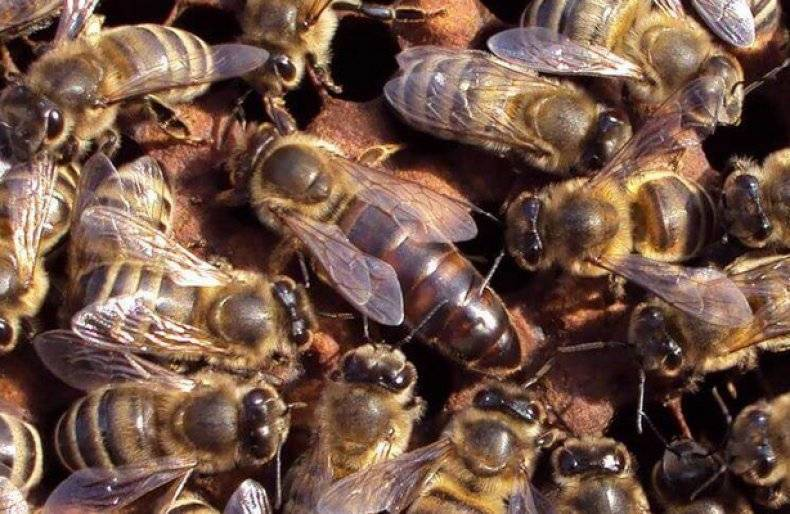 Все о породе пчел бакфаст