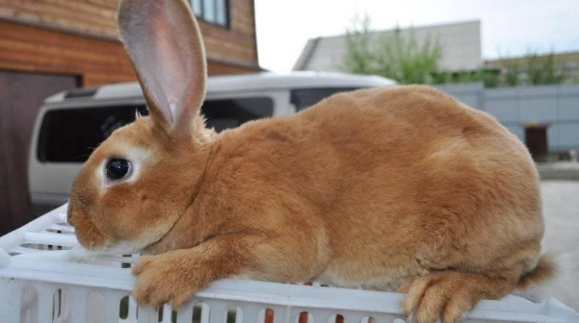 Содержание и разведение кроликов ризен. чем они так привлекательны?