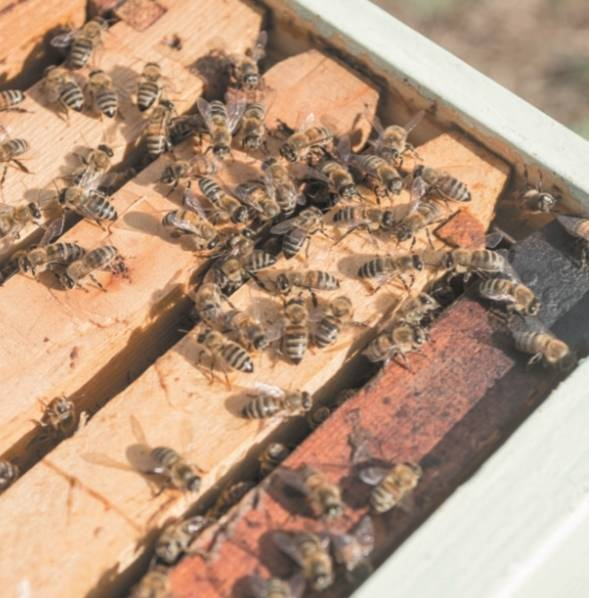 Как правильно сделать новичку отводок пчел, чтобы получить прибыль с пасеки