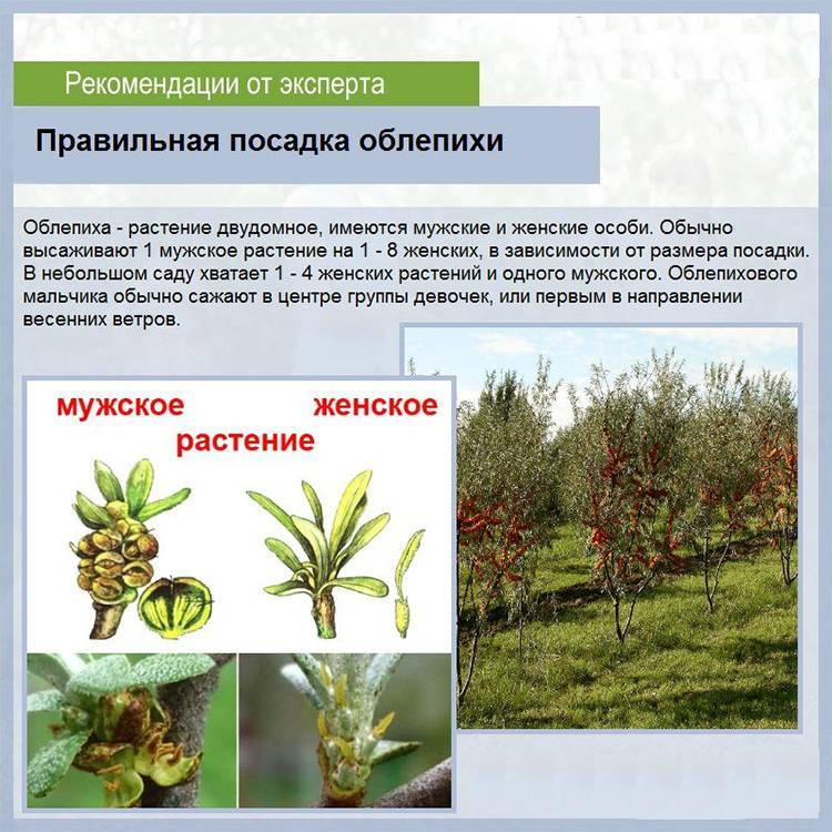 Облепиха: советы по выращиванию, борьба с болезнями и вредителями