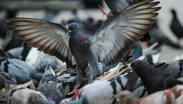 Как избавиться от голубей на балконе: пошаговая инструкция