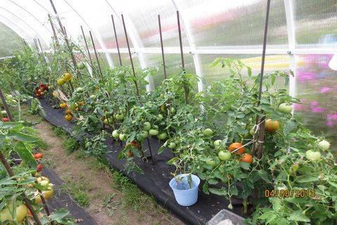 Томат снежный барс и другие самые вкусные, урожайные и стойкие сорта помидор