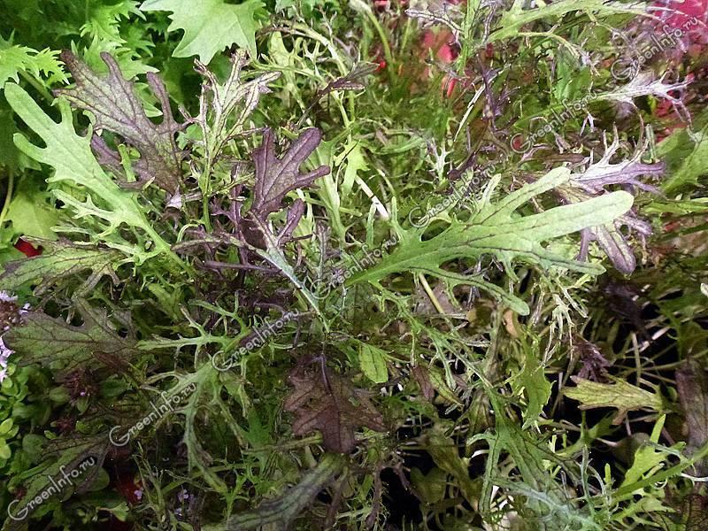 Съедобна ли японская капуста при цветении. капуста мизуна: фото, описание